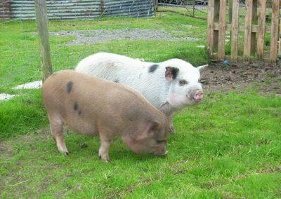 smithy farm pigs
